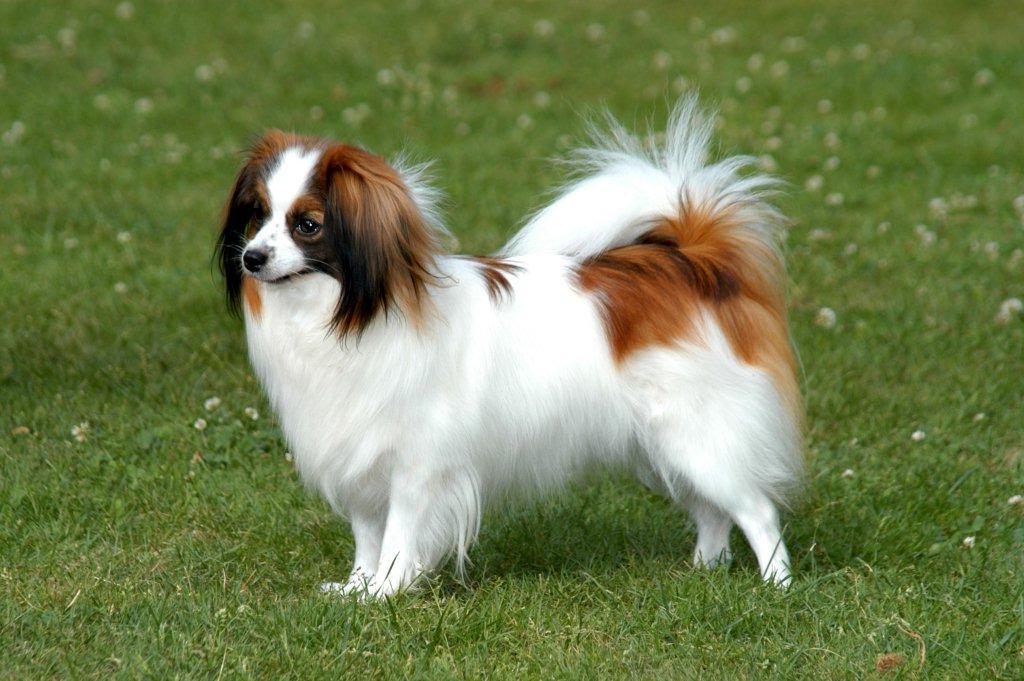 صور كلب فيلين