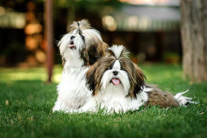 كلاب شيتزو