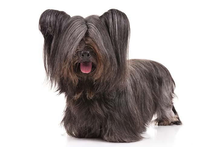 صور كلب سكاي تيرير