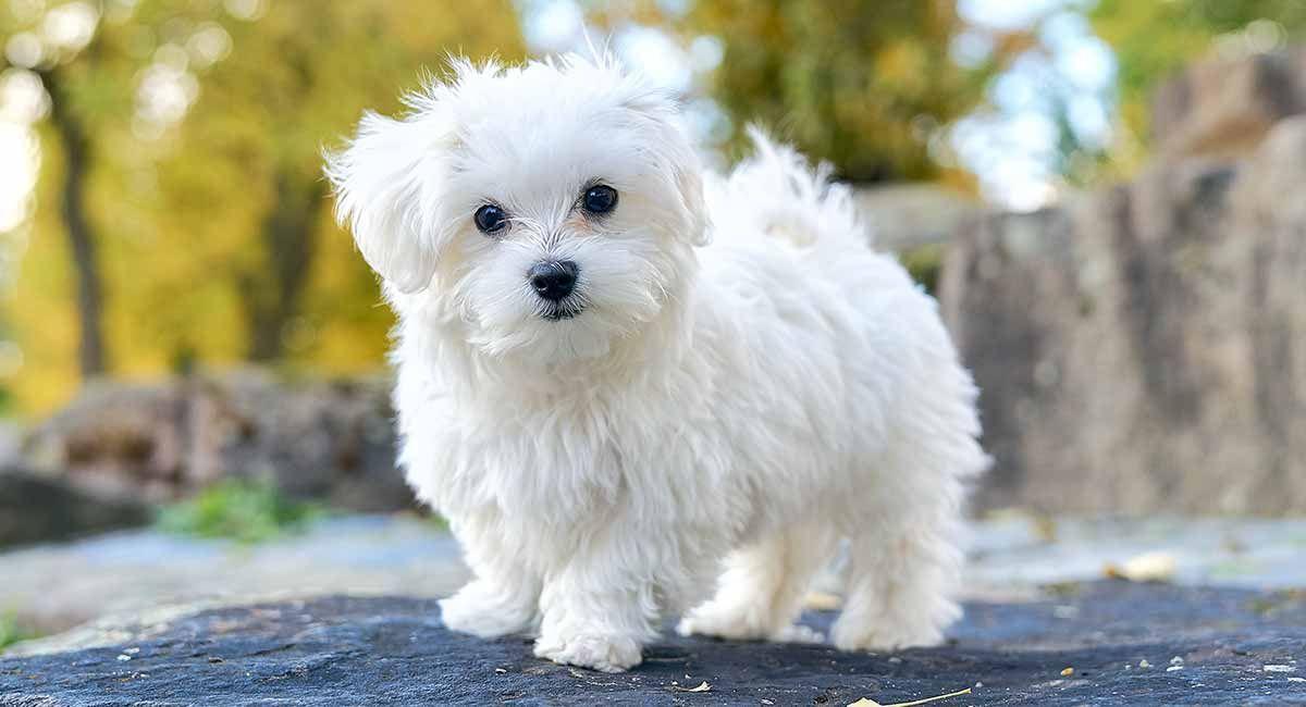 صور كلب المالطي او الرومي