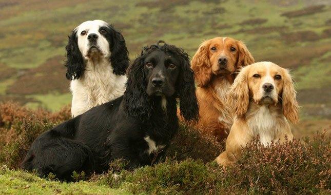 صور انواع كلاب كوكر سبانيل