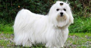 كلاب المالطى