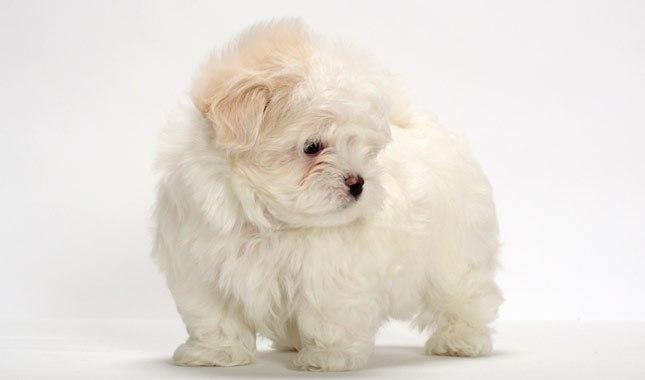 جرو كلاب المالطي