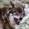ذئب شرس