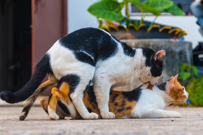 تزاوج القطط