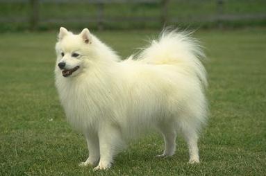 صور كلب سبيتز نيهون سوبتتسو الياباني