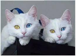 معلومات عن اجمل قطه
