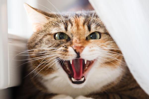كم عدد اسنان القطط