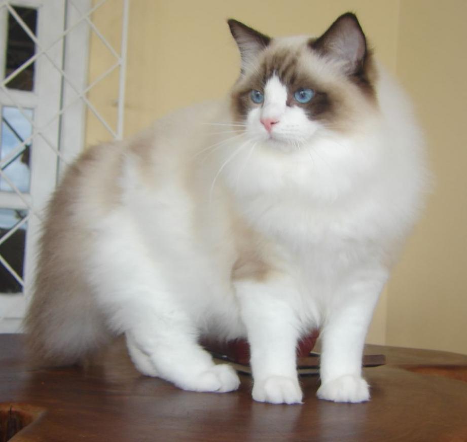 راغدول -اجمل قطه