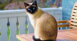 القطه السيامى - اجمل قطه