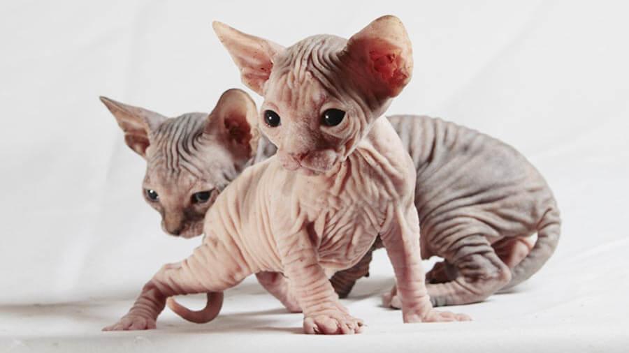 عيوب القط الفرعونى