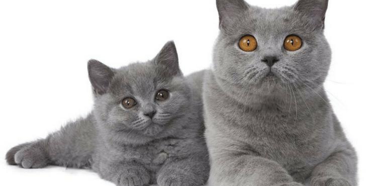 القطط البريطانيه - اجمل قطه