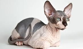 مميزات القط الفرعونى