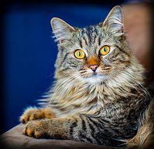 ماين كوين اجمل قطه