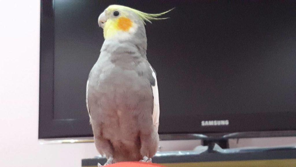 صور طائر الكروان