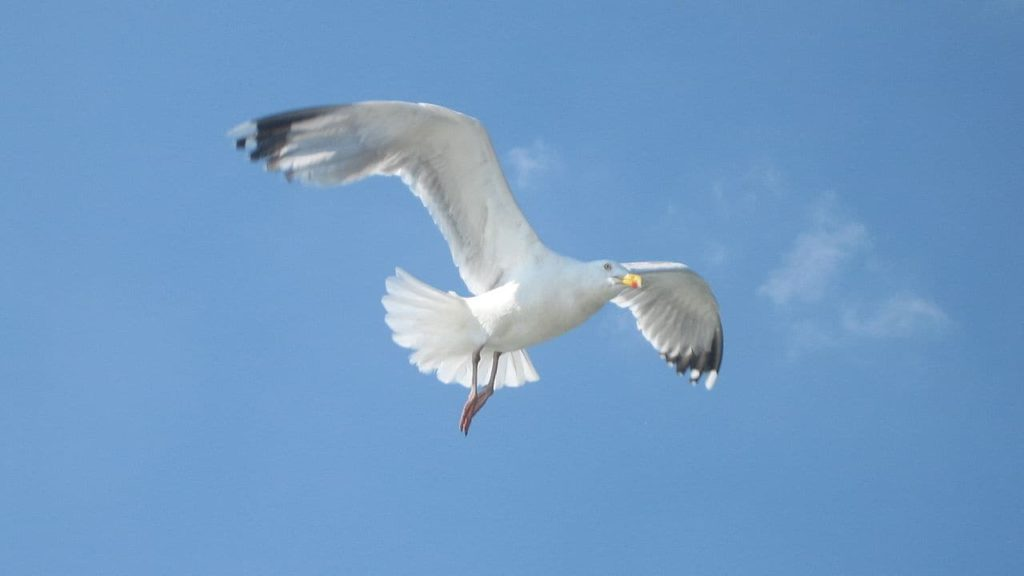 صور طائر النورس