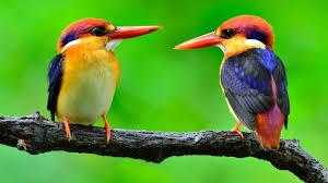 صورطيور