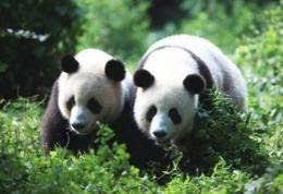 صور الباندا