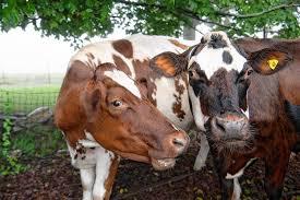 صور البقر