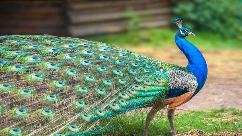 صور طاووس