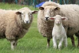 صور خروف
