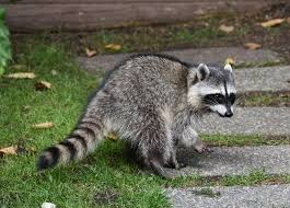 صور حيوان الراكون
