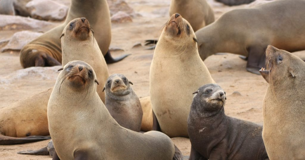 صور كلب البحر