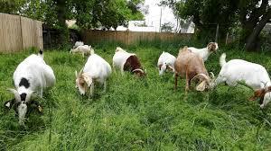 صور الماعز