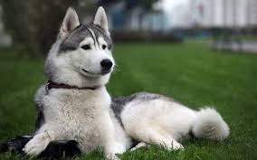 صور كلاب هاسكى