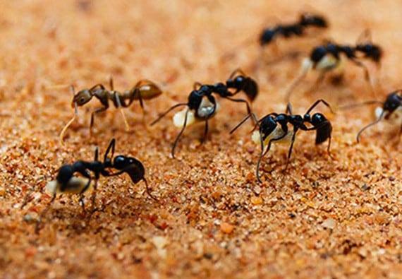 صور نمل