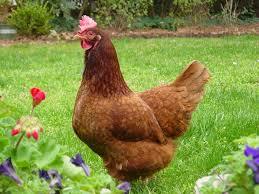 صور دجاج