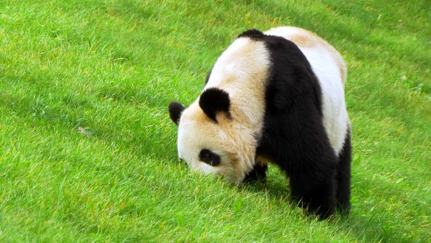 صور دب الباندا