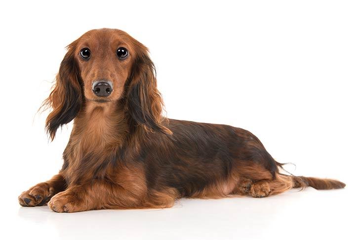 اجمل انواع الكلاب الجيرمن