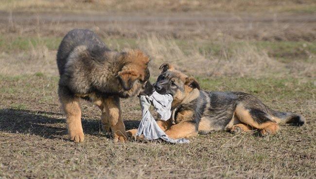 جرو كلاب جيرمن صغيره