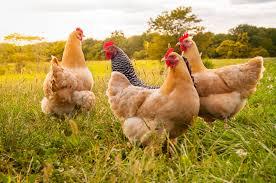 صور الدجاج