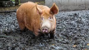 صور الخنازير