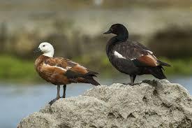 صور البط