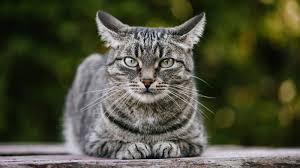 تصرفات القطط ومعانيا