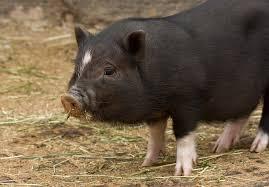 صورالخنازير