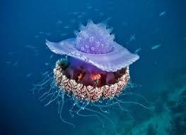 صور قندديل البحر