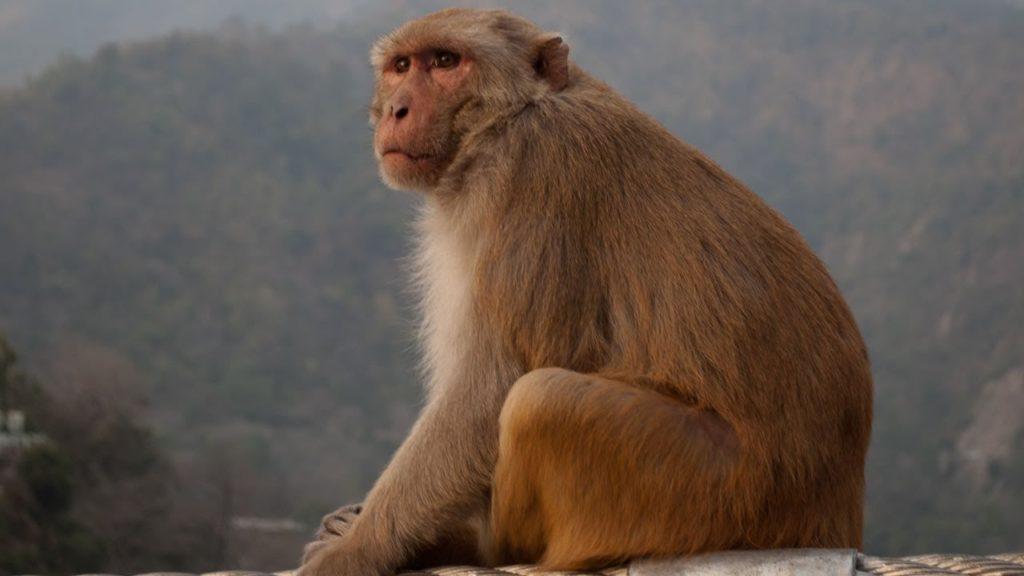 صور القرد