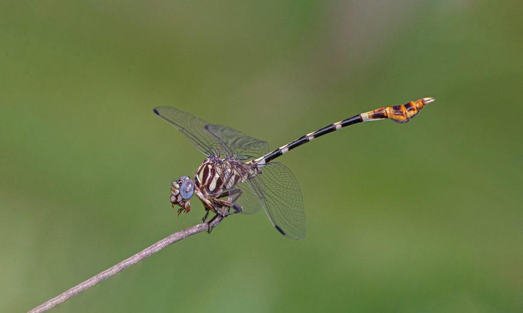 صور اليعسوب