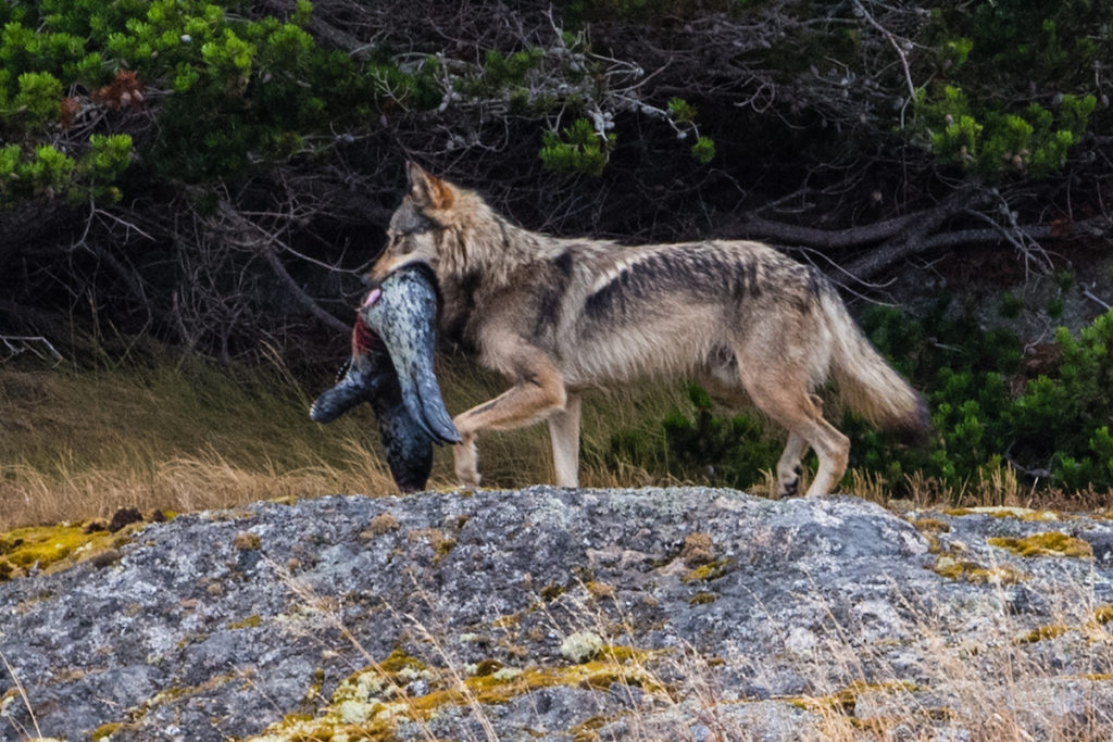 صور الذئب