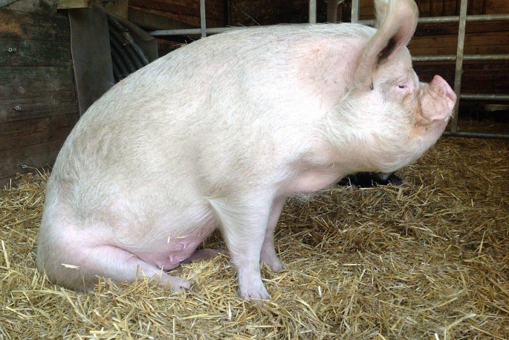 صور الخنزير