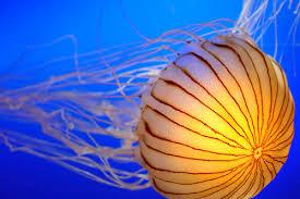 صور قنديل البحر
