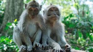 صور القرود