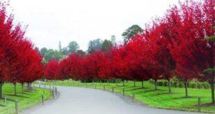 اشجار الزينة
