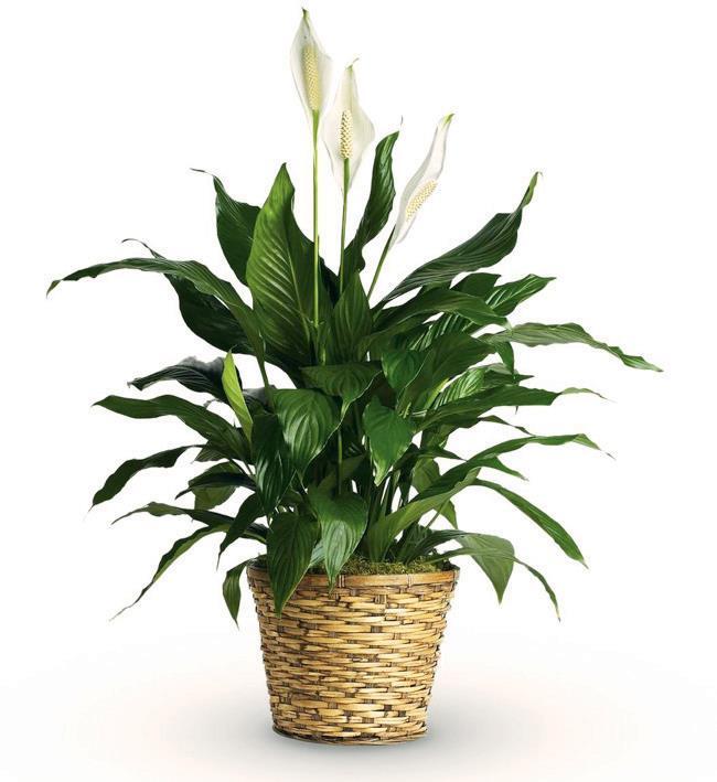 نبات زئبق السلام