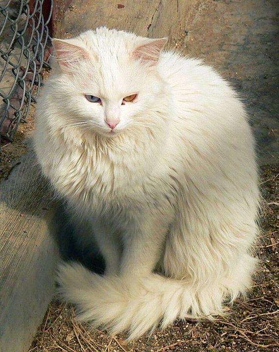 قط أبيض