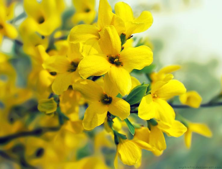 ورد الياسمين الأصفر
